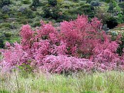 Тамарікс дрібноквітковий / Бісерник 2 річний, Тамарикс мелкоцветный розовый / Бисерник / Гребенщик Tamarix, фото 3