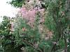 Тамарікс дрібноквітковий / Бісерник 2 річний, Тамарикс мелкоцветный розовый / Бисерник / Гребенщик Tamarix, фото 2