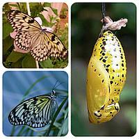 Куколка бабочки Idea leuconoe
