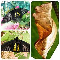 Куколка бабочки Troides radamanthus
