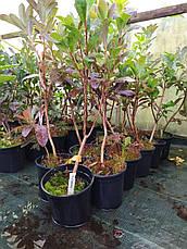 Азалия гібридна mayaro в горщику 1,5л, фото 3