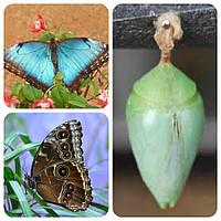Куколка бабочки Morpho peleides