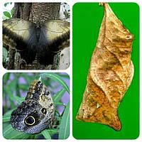Куколка бабочки Caligo memnon