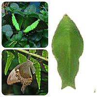 Куколка бабочки Papilio palinurus