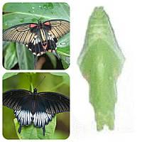 Куколка бабочки Papilio lowi