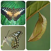 Куколка бабочки Parthenos sylvia