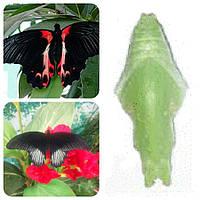 Куколка бабочки Papilio rumanzovia
