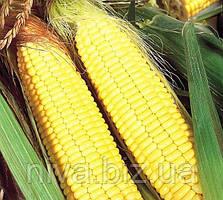 Бостон F1 насіння кукурудзи солодкої Syngenta 1 000 г