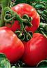 Семена томата Фантер F1 10 000 сем. Agri.