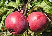 Саженцы яблони Энтерпрайз (Enterprise)