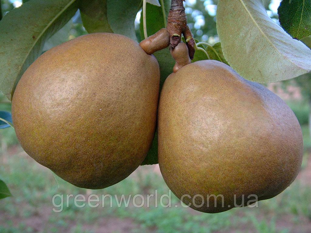 Сорт груші Анжеліс (приймем замовлення на осінь 2021)
