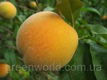Саженцы персика Донецкий Жёлтый