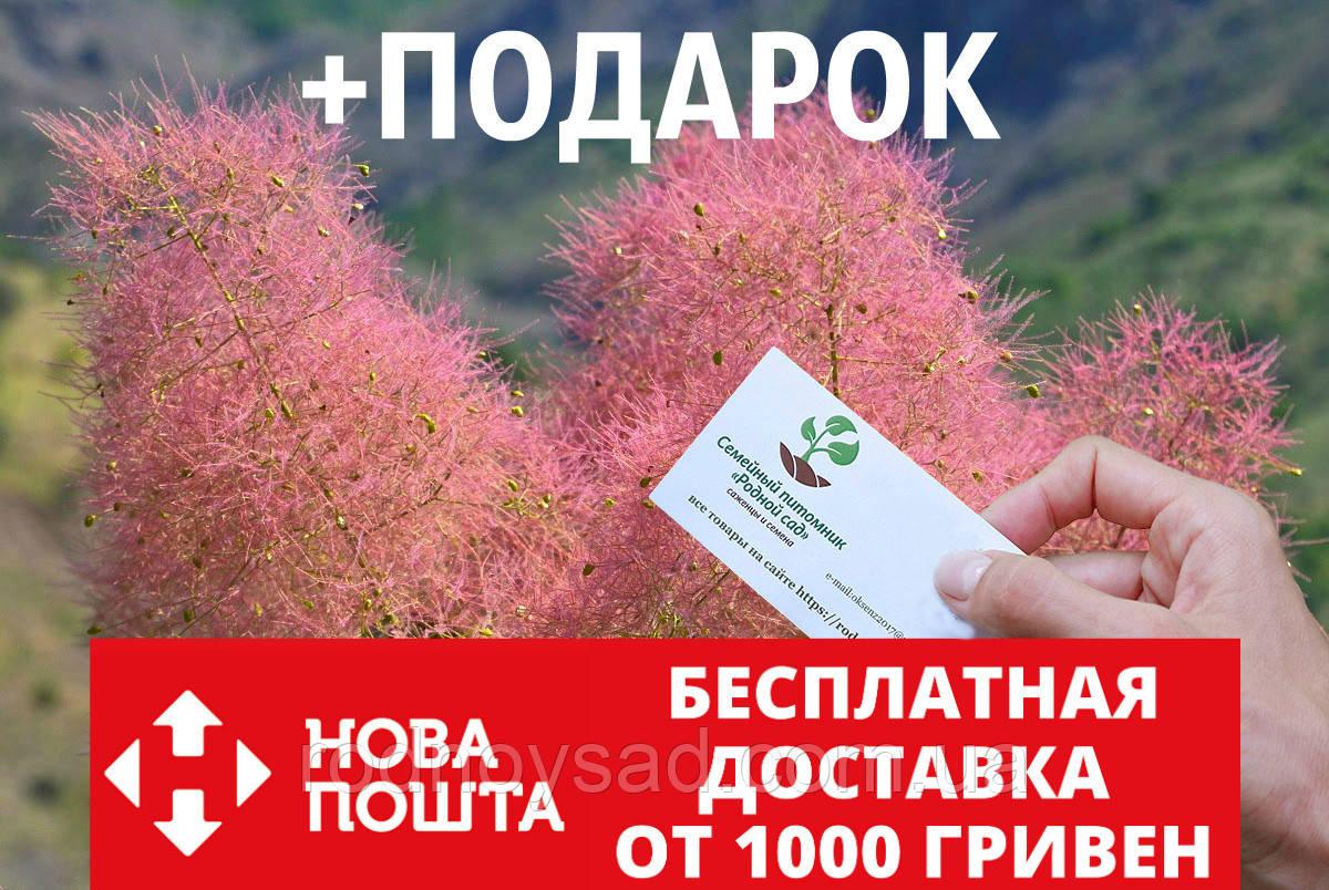 Скумпия кожевенная семена (20 штук) париковое дерево, кожевенник декоративный кустарник скумпія насіння