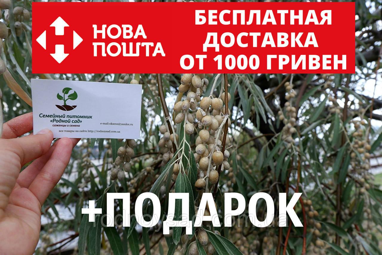 Семена дикой маслины (50 штук) лох серебристый косточка для саженцев Elaeagnus commutata, насіння