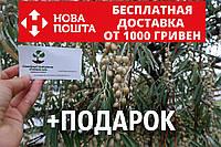 Семена дикой маслины (50 штук) лох серебристый косточка для саженцев Elaeagnus commutata, насіння, фото 1