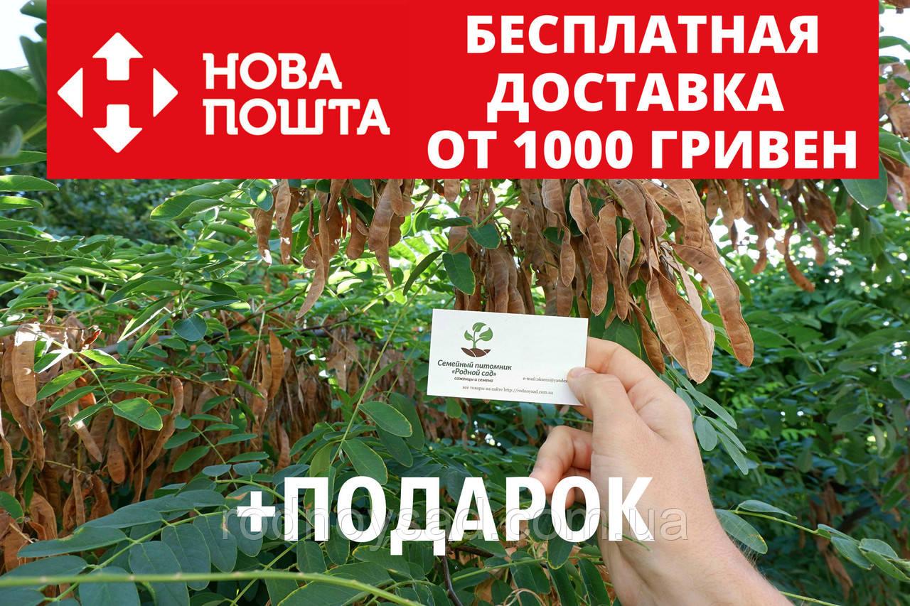 Акация белая семена(20шт)Robínia pseudoacácia робиния лжеакация для саженцев(насіння для саджанців)+инструкция