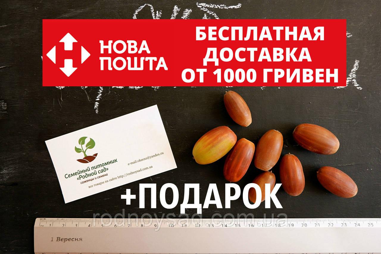 Дуб черешчатый семена (20шт) (дуб обыкновенный или английский) для саженцев насіння для саджанців