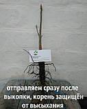 Каштан съедобный саженцы однолетние (Castánea satíva орех посевной), фото 5