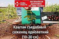 Каштан съедобный саженцы (Castánea satíva орех посевной) горіх каштан їстівний саджанці (на осень 2020)