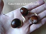 Каштан съедобный саженцы однолетние (Castánea satíva орех посевной), фото 4