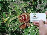 Каштан съедобный саженцы однолетние (Castánea satíva орех посевной), фото 6