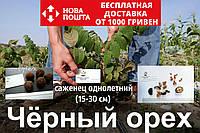 Черный орех саженцы, (родственник грецкого), саджанці чорного горіха  Juglans nigra (на осень 2020)