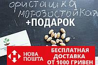 Семена фисташки (10 штук) орехи Pistácia véra для сеянцев и саженцев, горіх насіння фісташкі для саджанців, фото 1