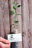 Семена фисташки (10 штук) орехи Pistácia véra для сеянцев и саженцев, горіх насіння фісташкі для саджанців, фото 4