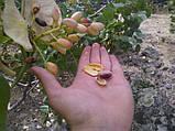 Семена фисташки (10 штук) орехи Pistácia véra для сеянцев и саженцев, горіх насіння фісташкі для саджанців, фото 8