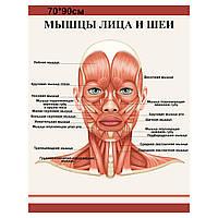 "Плакат ""Мышцы лица и шеи"""