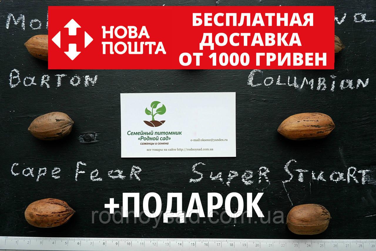 """Пекан (10 штук) сорт """"Super Stuart"""" (ранний) семена орех кария для выращивания саженцев (насіння на саджанці)"""