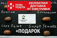 """Пекан (10 штук) сорт """"Super Stuart"""" (ранний) семена орех кария для выращивания саженцев (насіння на саджанці), фото 1"""