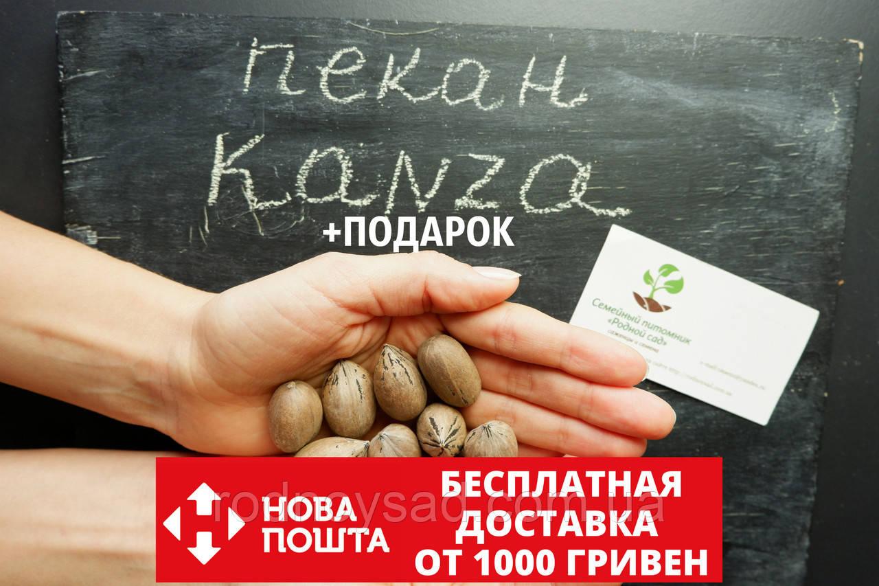 """Пекан (10 штук) сорта """"Kanza""""(поздний) семена орех кария для саженцев (насіння на саджанці)Carya illinoinensis"""