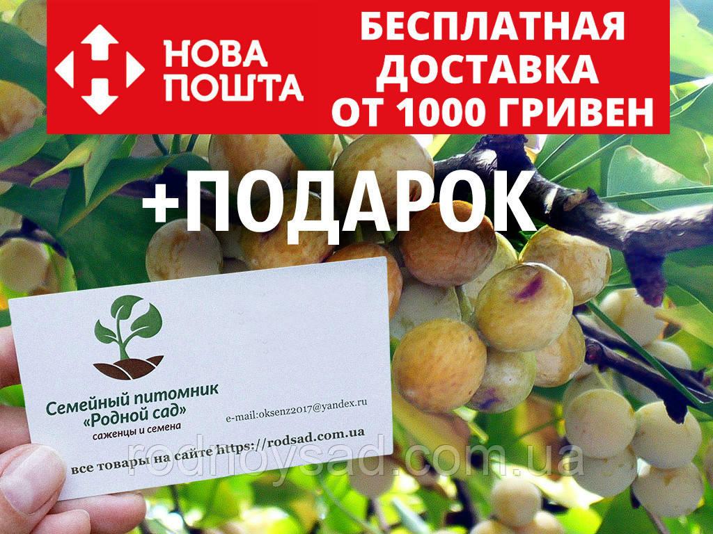 Гинкго билоба семена 10 шт (гинко, гинго) для саженцев Ginkgo biloba + инструкции + подарок