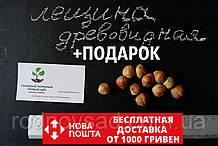 Лещина древовидная (турецкая) семена (20 штук), медвежий орех (подвой для саженцев фундука)