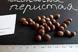 Клекачка перистая семена (10 штук) Staphýlea pinnáta орехи для саженцев + инструкции + подарок, фото 3