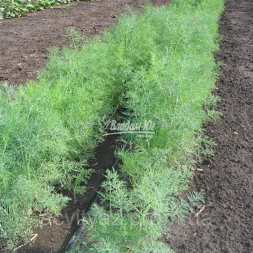 Семена укропа Дилл, 50 грамм