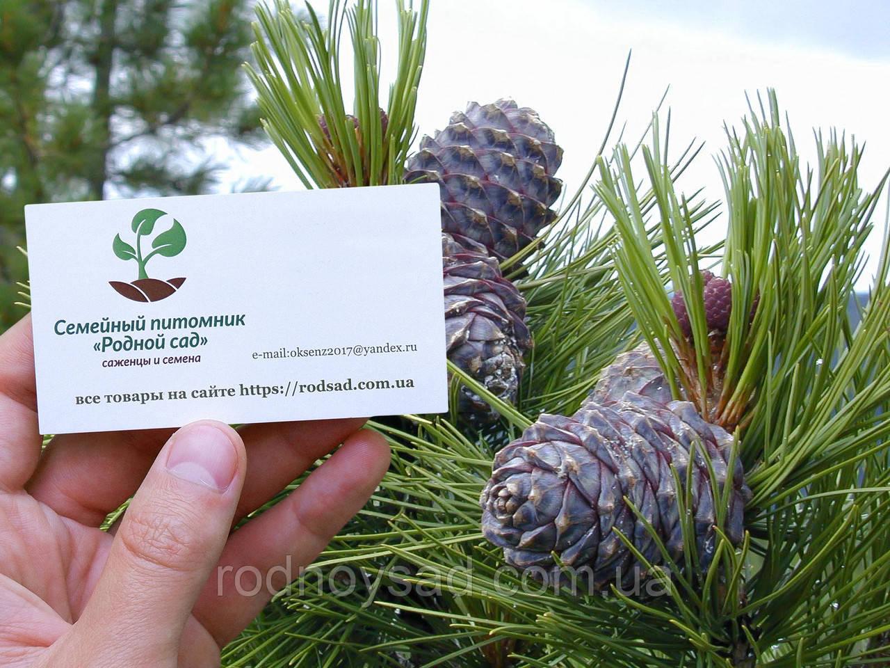 Кедр сибирский семена (20 штук) (сосна кедровая) для выращивания саженцев + инструкции + подарок