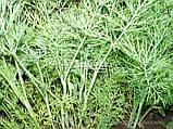 Семена укропа Дилл, 0,5 кг, фото 2