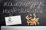 Калоцедрус низбегающий семена (20 шт) (Calocedrus decurrens) для выращивания саженцев + подарок, фото 4