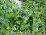 Семена петрушки Новас, 100 грамм, фото 3