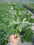 Семена петрушки Новас, 100 грамм, фото 5