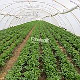 Семена петрушки Новас, 100 грамм, фото 6
