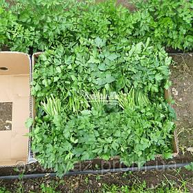 Семена петрушки Новас, 100 грамм