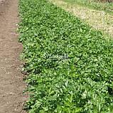 Семена петрушки Новас, 100 грамм, фото 7