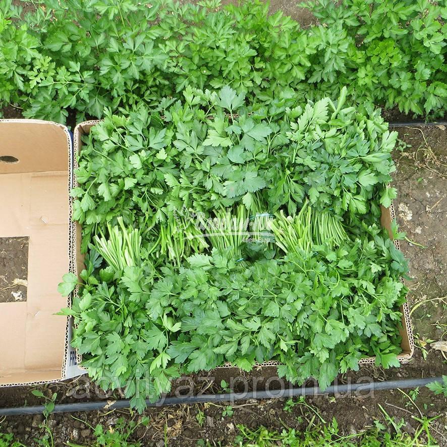 Семена петрушки Новас, 250 грамм