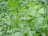 Семена петрушки Новас, 250 грамм, фото 2