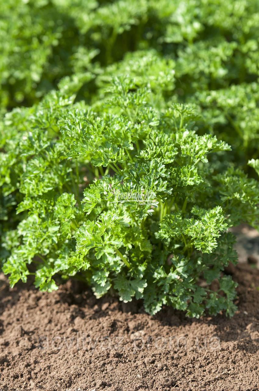 Семена петрушки Робуст, 100 грамм