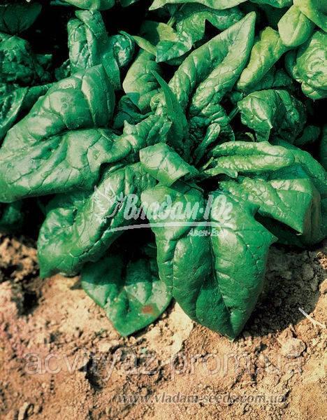 Семена шпината Лагос, 250 грамм