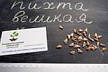 Пихта великая семена (50 шт) (Abies grandis) для выращивания саженцев + подарок, фото 4
